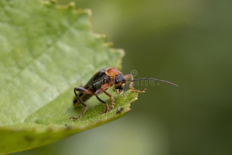 Жук солдата, Cantharidae, идущ на листья дерева и около принять летать во время июня в Шотландии стоковые фотографии rf