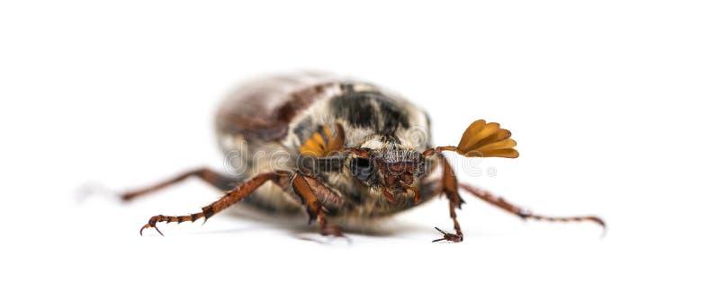 Жук-чефер лета или в июнь европейца жук стоковые фотографии rf