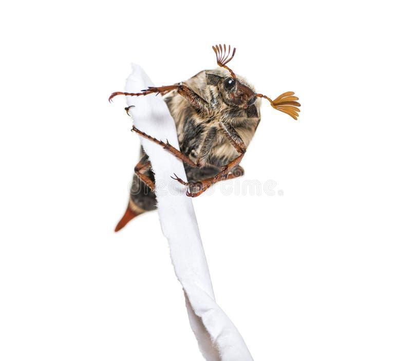 Жук-чефер лета или в июнь европейца жук стоковое фото rf