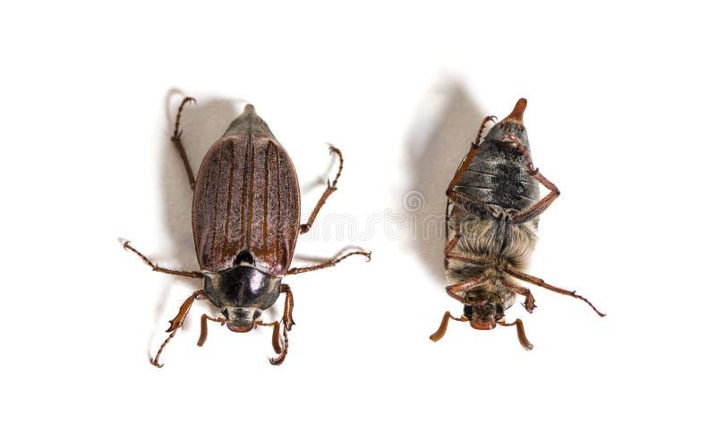 Жук-чефер лета или в июнь европейца жук стоковое фото