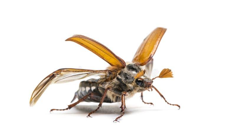 Жук-чефер лета или в июнь европейца жук стоковые фото