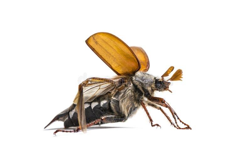 Жук-чефер лета или в июнь европейца жук стоковая фотография