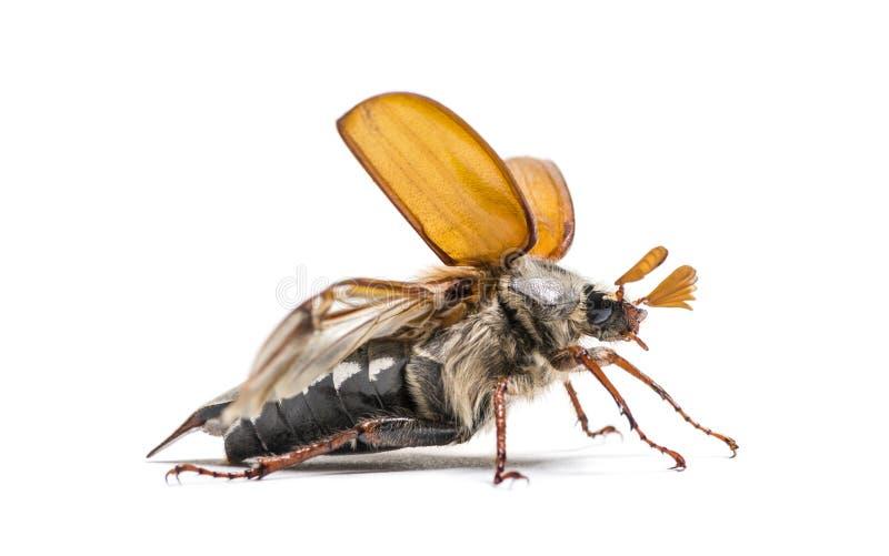Жук-чефер лета или в июнь европейца жук стоковое изображение rf
