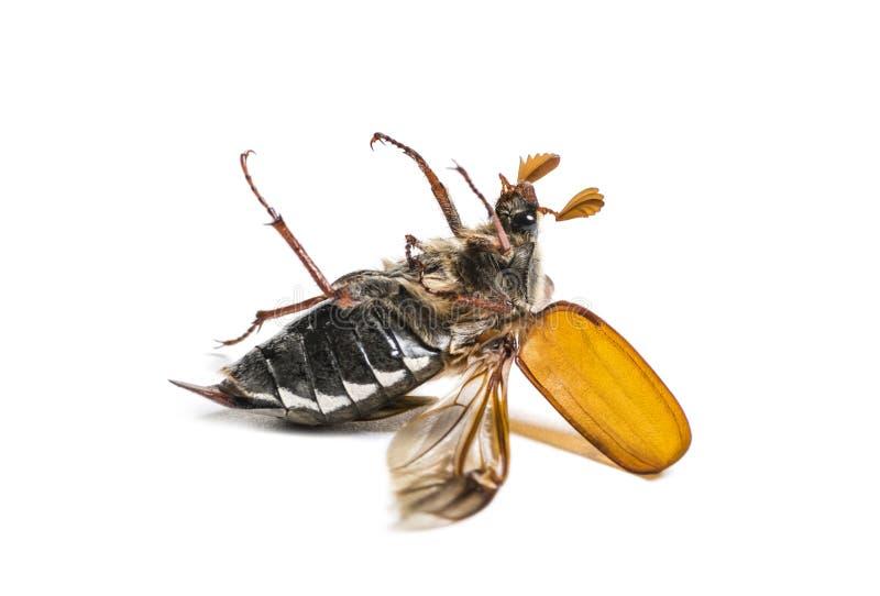 Жук-чефер лета или в июнь европейца жук стоковая фотография rf