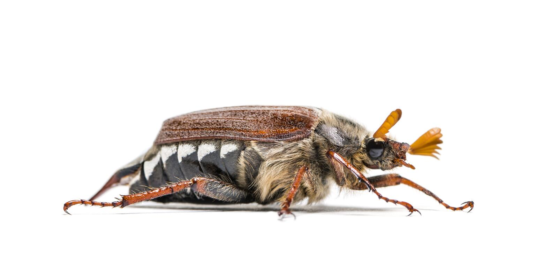 Жук-чефер лета или в июнь европейца жук стоковое изображение