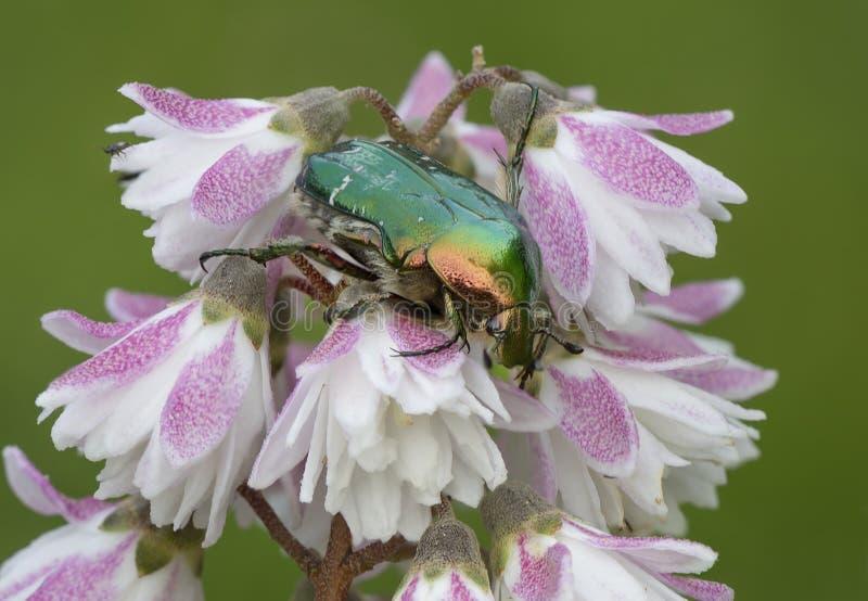 Жук-чефер на цветке Deutzia стоковые фото