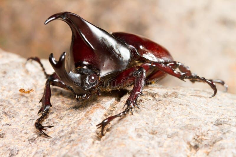 Жук Dynastinae воюя на дереве стоковое изображение