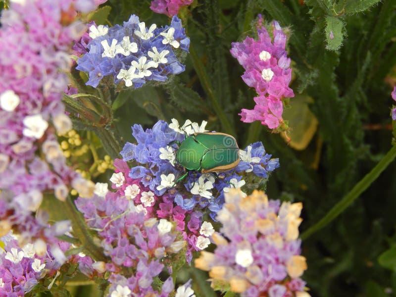Жук Junebug пируя на цветках стоковые изображения rf