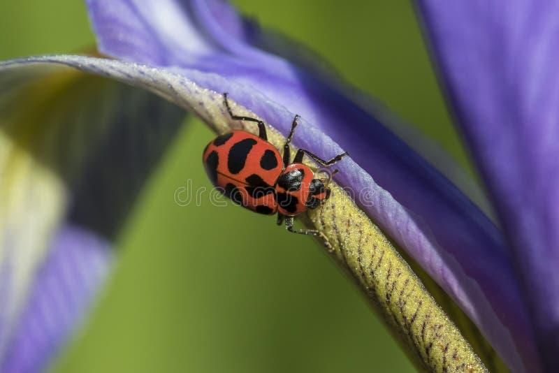 Жук Ladybird вползая на радужке голубого флага стоковое изображение
