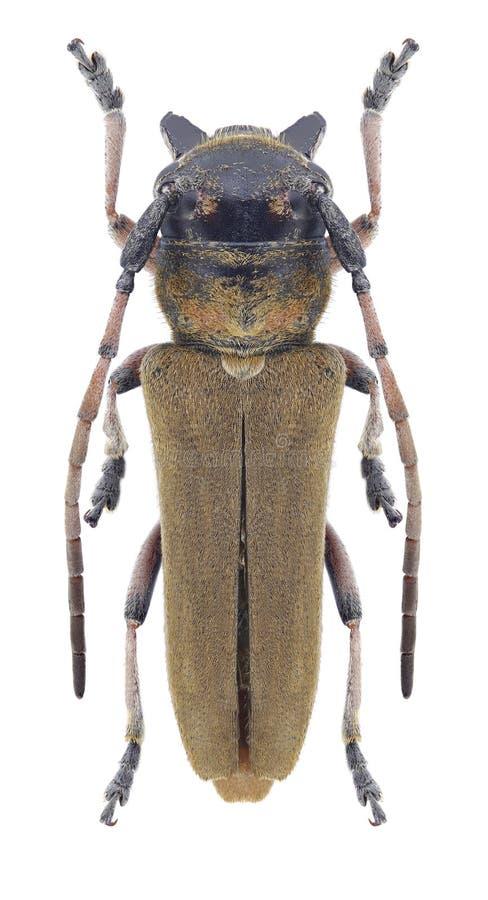 Жук Musaria argus стоковое изображение