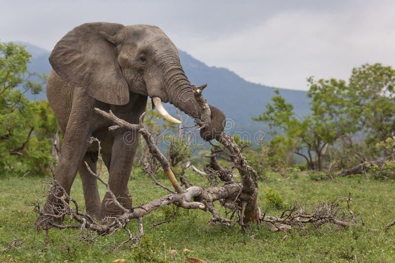 Журнал быка слона поднимаясь, Южная Африка стоковое фото rf