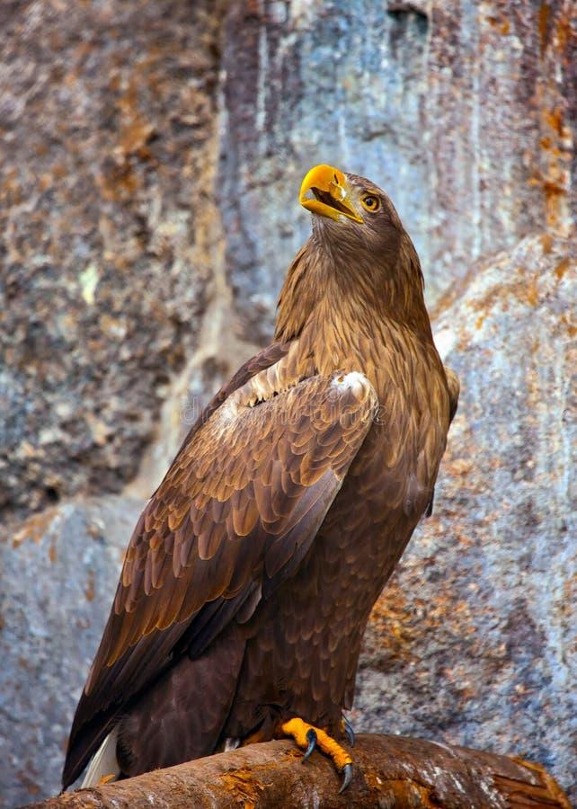 журнал орла золотистый садился на насест стоковое фото rf