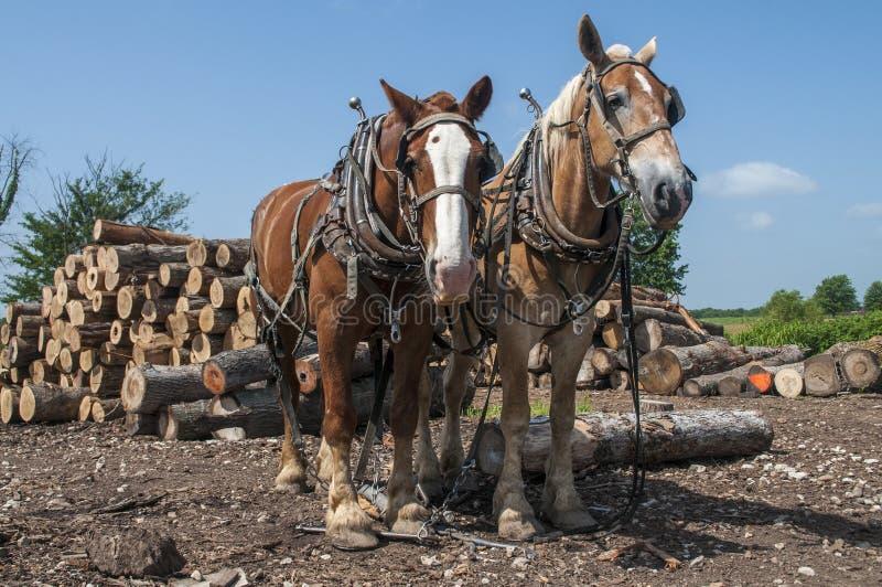Журнал вытягивая команду лошадей стоковые фотографии rf