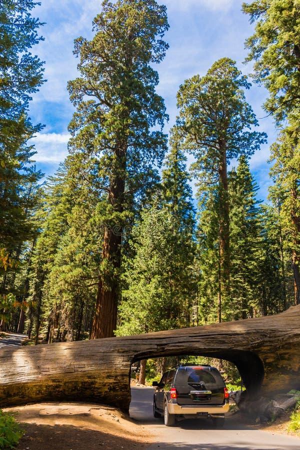 Журнал тоннеля, гигантский лес, Калифорния США стоковые фотографии rf