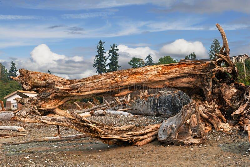 Журналы, хобот и ископаемый дерева на море приставают к берегу стоковое изображение