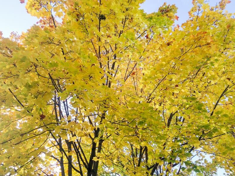 Жёлто-зеленые осенние маплы стоковое фото