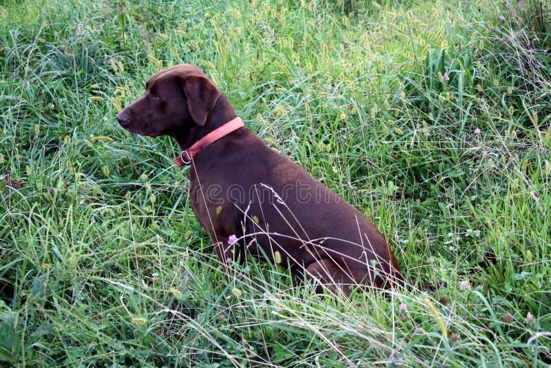 Ждать охотничьей собаки стоковое фото