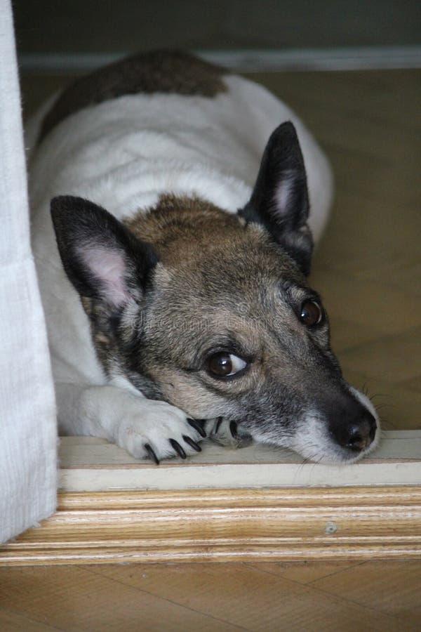 Ждать собака стоковое изображение rf
