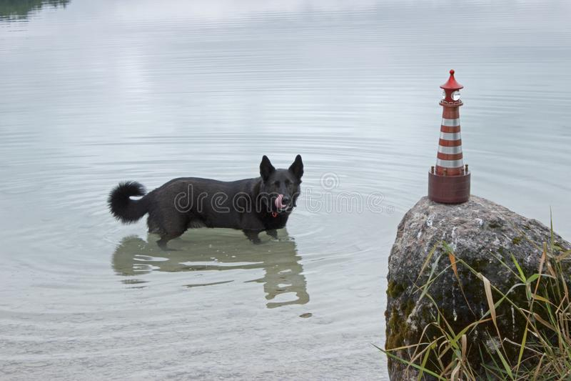 Забавная чёрная собака разрушила стрельбу в маяк стоковое изображение