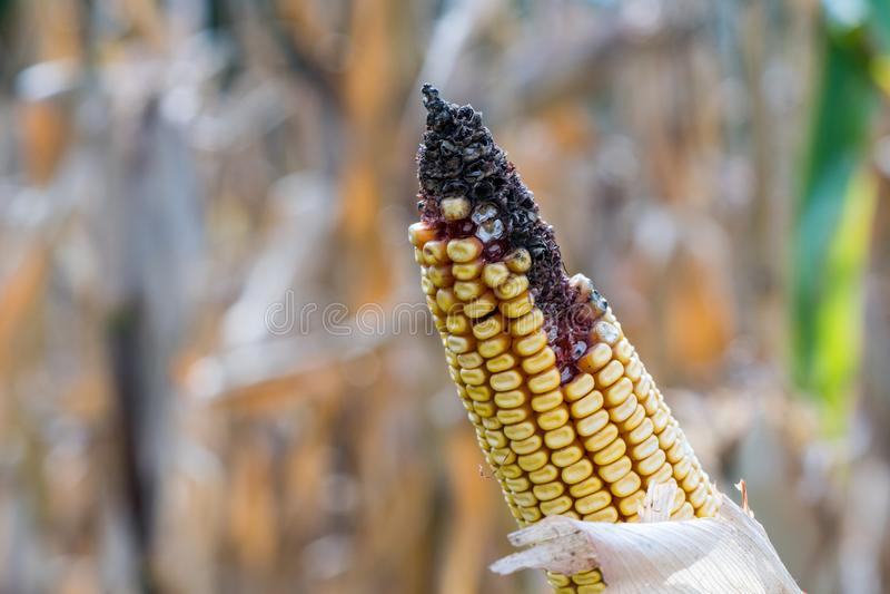 Заболевание и прессформа на зрелом ухе золотой мозоли в поле, крупного плана стоковая фотография rf
