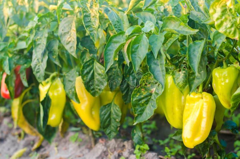 Заболевание перца причинено вирусом Phytophthora Infestans Земледелие, сельское хозяйство, урожаи заболевание овощей на поле стоковая фотография rf