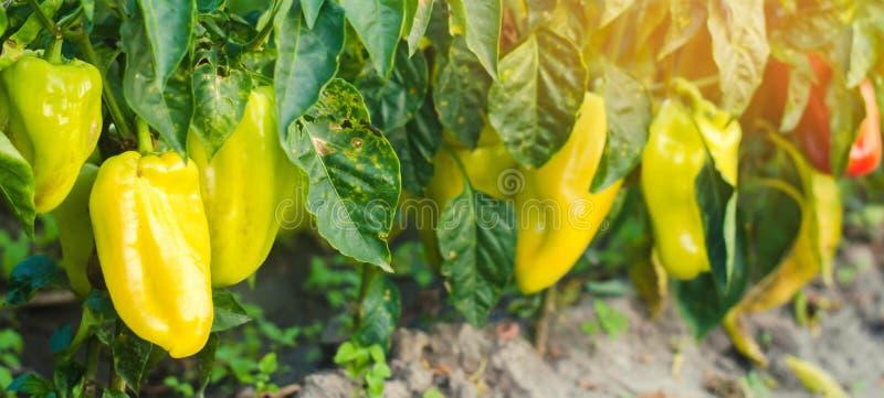 Заболевание перца причинено вирусом Phytophthora Infestans Земледелие, сельское хозяйство, урожаи заболевание овощей на поле Sel стоковое фото