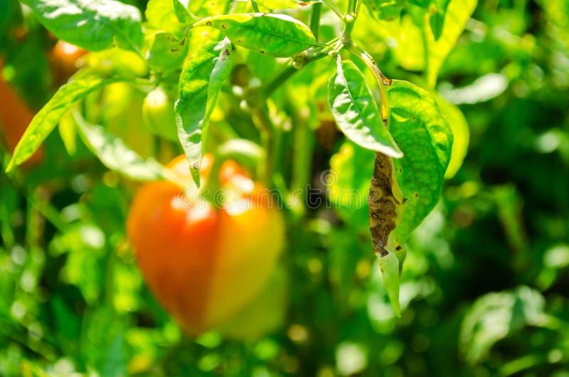 Заболевание перца причинено вирусом Phytophthora Infestans овощи на поле стоковая фотография rf