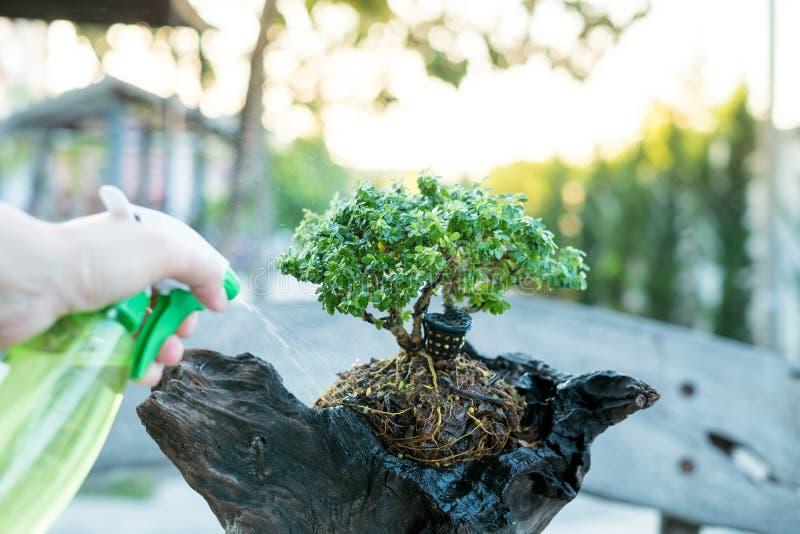 Забота бонзаев и клонить рост комнатного растения Моча малое дерево Концепции обработки дерева стоковые изображения rf