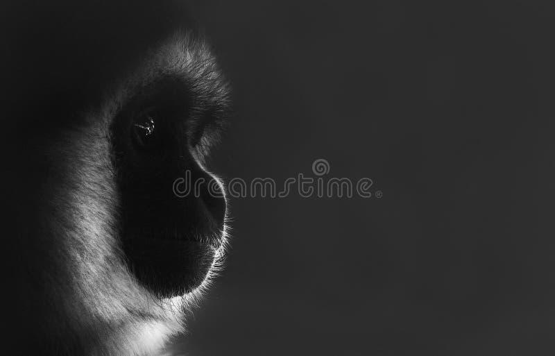 Заботливый портрет профиля обезьяны стоковое фото