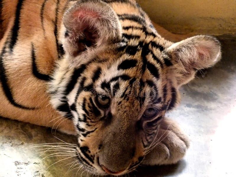Заботливый тигр младенца размышляет в его клетке стоковое изображение