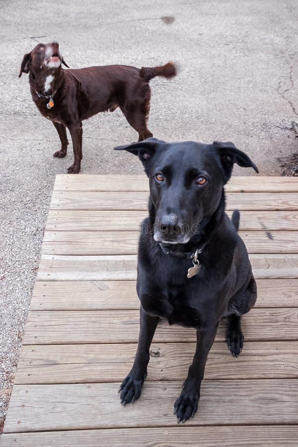 Забрасывают вопросами собаку породы черного чабана смешанную retriever labrador шоколада стоковая фотография