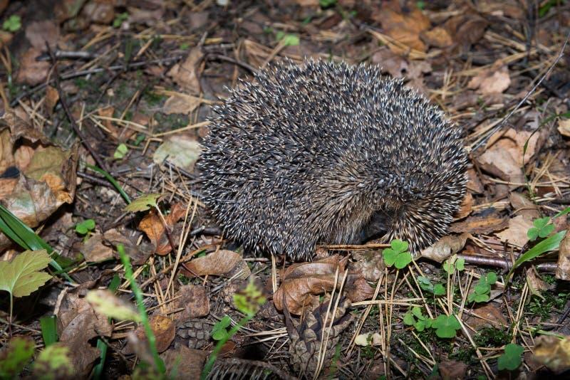 завитый hedgehog вверх стоковое изображение rf