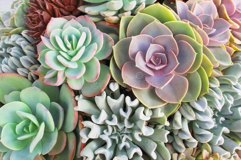 Заводы верхнего viewbeautiful кактуса роз каменного зацветая орнаментальные текстурируют естественное для предпосылки стоковое фото rf
