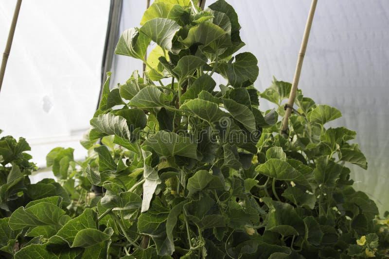 Заводы дыни растя внутри polytunnel стоковые фото