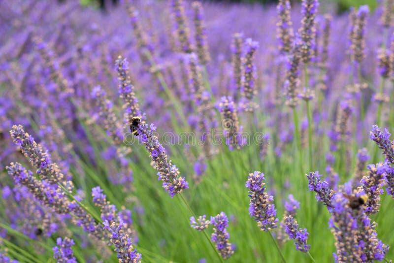 Заводы и цветки довольно английской лаванды дуя в ветре в Corbett Орегоне с путают пчелы Короткий фокус с запачканным backgroun стоковое изображение rf