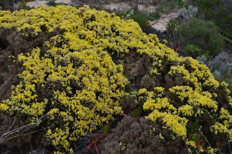 Заводы и цветки природного парка Vicentina Косты, югозападной Португалии стоковое изображение rf