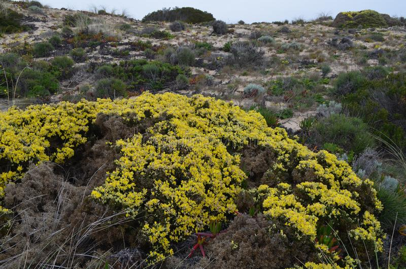Заводы и цветки природного парка Vicentina Косты, югозападной Португалии стоковые изображения rf