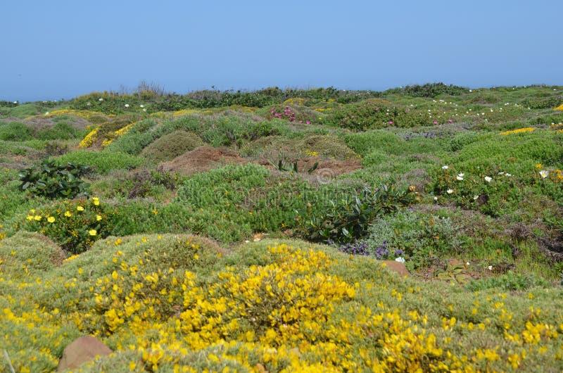 Заводы и цветки природного парка Vicentina Косты, югозападной Португалии стоковое фото rf
