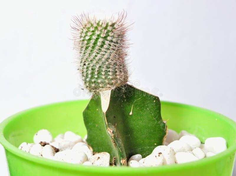Заводы кактуса в баках изолированных на белой предпосылке стоковая фотография rf
