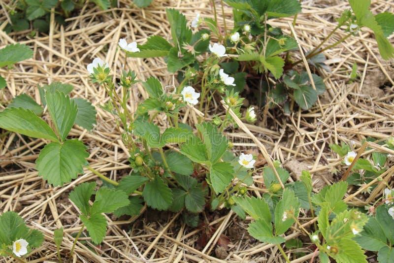 Заводы клубники с цветениями в соломе стоковое изображение