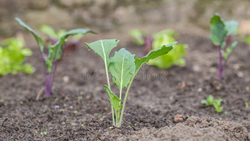 Заводы кольраби в огороде стоковое изображение rf