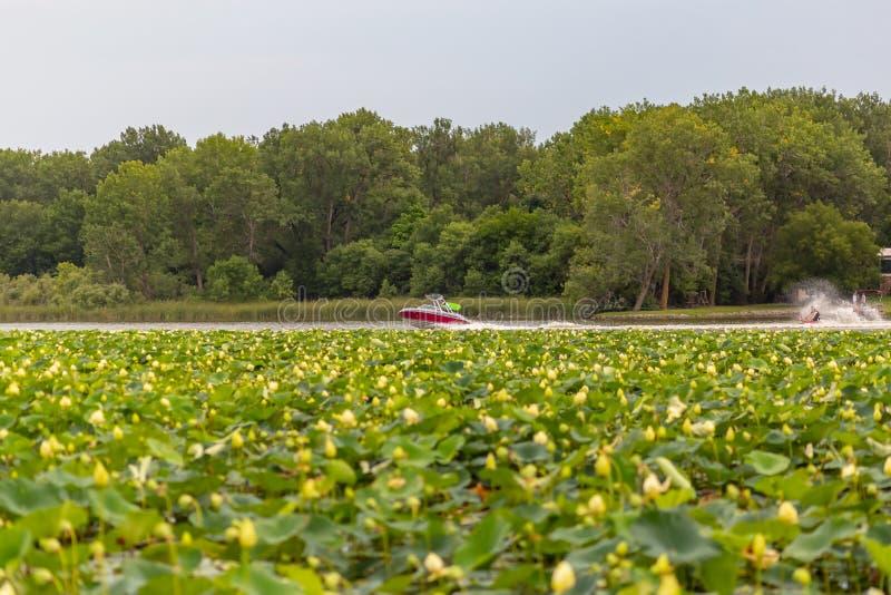 Заводы лилии воды на моторной лодке Айовы озера Картер с лыжником воды стоковая фотография