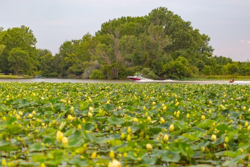 Заводы лилии воды на моторной лодке Айовы озера Картер с лыжником воды стоковые фотографии rf