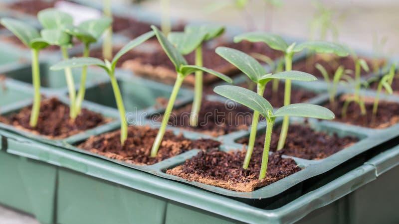 Заводы огурца Komkommer в подносе размножения стоковые фото