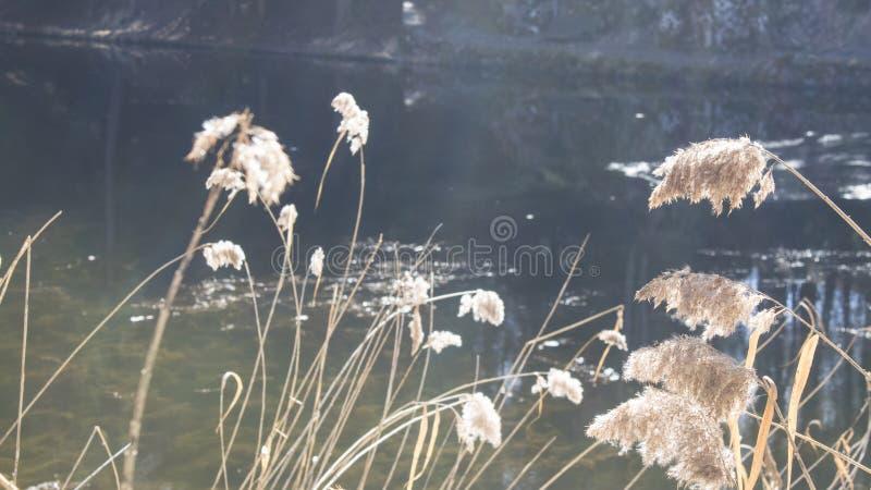 Заводы озера тростника общего тростника australis в озере стоковая фотография rf