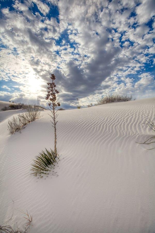 Заводы пустыни достигая из песчанных дюн покрывая их в Неш-Мексико стоковые фотографии rf