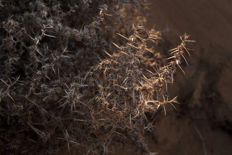Заводы пустыни, конец-вверх, bokeh, коричневый цвет, колючки стоковое изображение