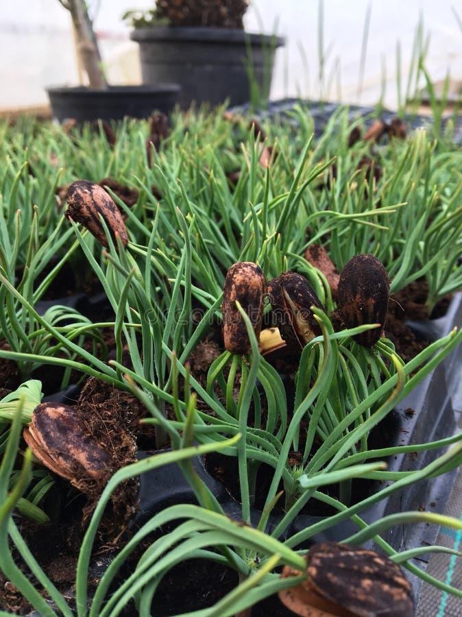 Заводы семян Pinus стоковые изображения rf