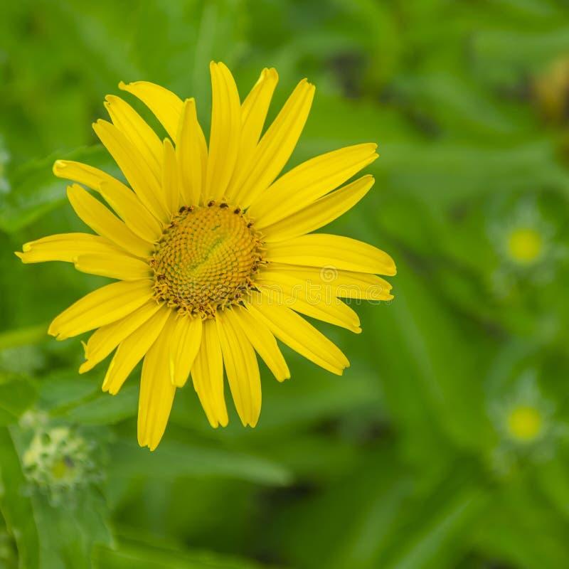 Заводы славных и красивых желтых цветков цвета орнаментальные и полный зеленых листьев в саде стоковые фотографии rf