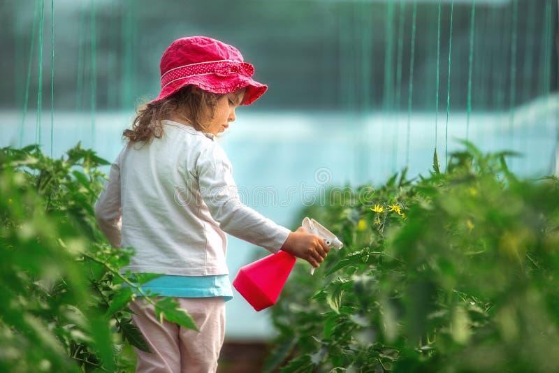 Заводы томата счастливого садовника маленькой девочки распыляя в парнике стоковые изображения